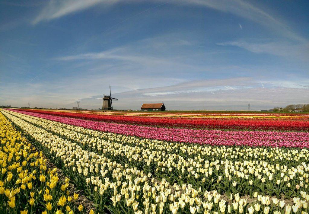 Tour - Campo de Tulipanes y Molinos de Beemster